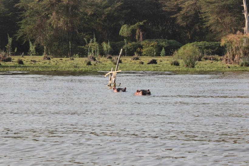 Hippos in Lake Naivasha, Kenya.
