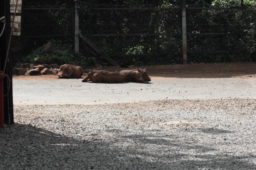 Warthogs basking on a road.
